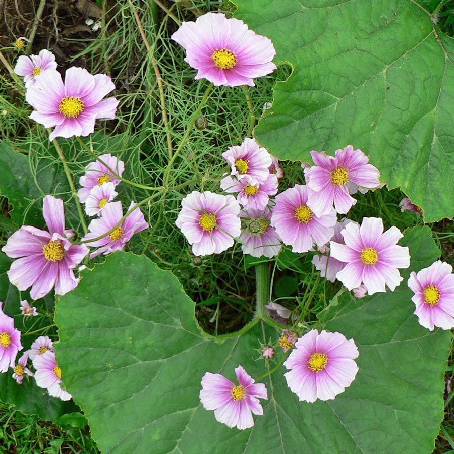 Cosmos Daydream Flower Seeds Plant List Plant Spacing
