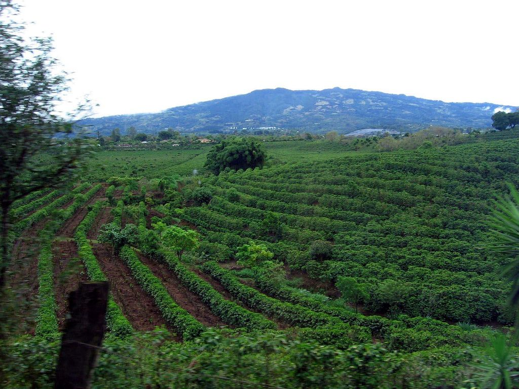 Tour a Coffee Plantation Costa Rica Olive ridley
