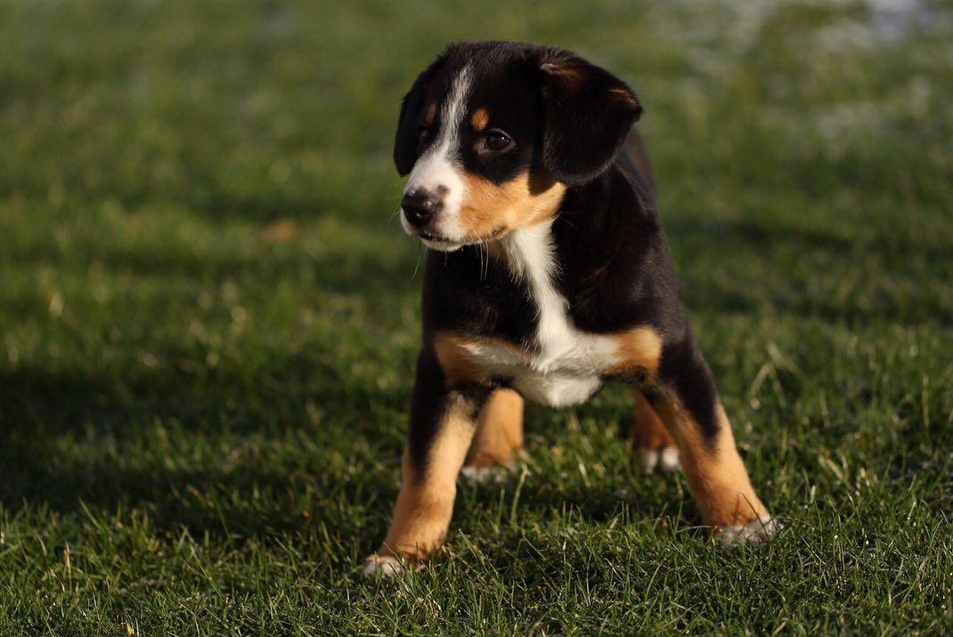 Pin Auf Appenzeller Hund