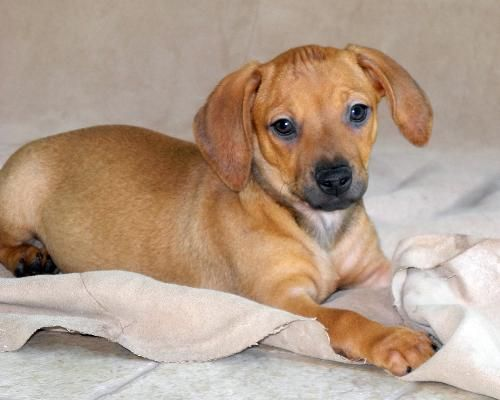 Fia Dachshund Whippet Mix Female Approx 2 Months And 4 Days Old