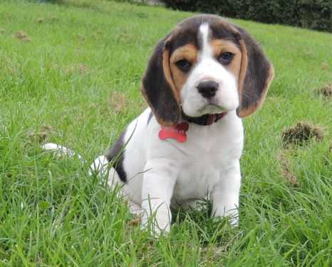 Love Is A Baby Beagle X Baby Beagle Beagle Animals