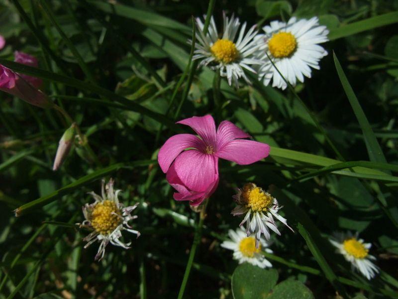 Pink-Sorrel - Oxalis articulata - Shamsag ghlioonagh