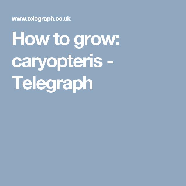 How to grow: caryopteris - Telegraph