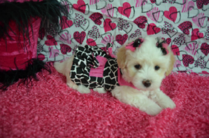 Maltipoo puppy for sale in Texas. Maltipoo puppies for