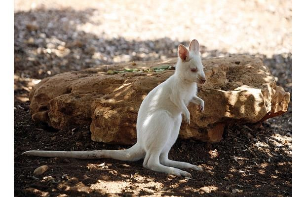 An albino wallaby born into captivity is pictured at a private zoo in Ayios Georgios, Cyprus