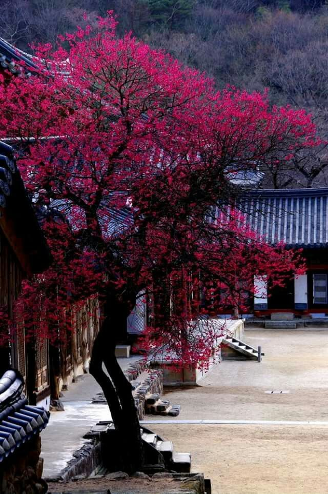 Plum blossoms of Hwaeom-temple in Gurye, Korea  구례 화엄사 흑매화