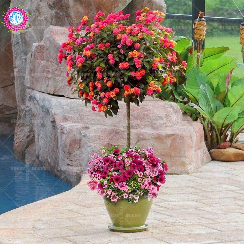 New Arrival 100 Pcs Lot Lantana Camara Flower Seeds Rare Perennial Herb Gorgeous Bonsai Tree Plant For Home Garde Lantana Tree Trees To Plant Perennial Herbs