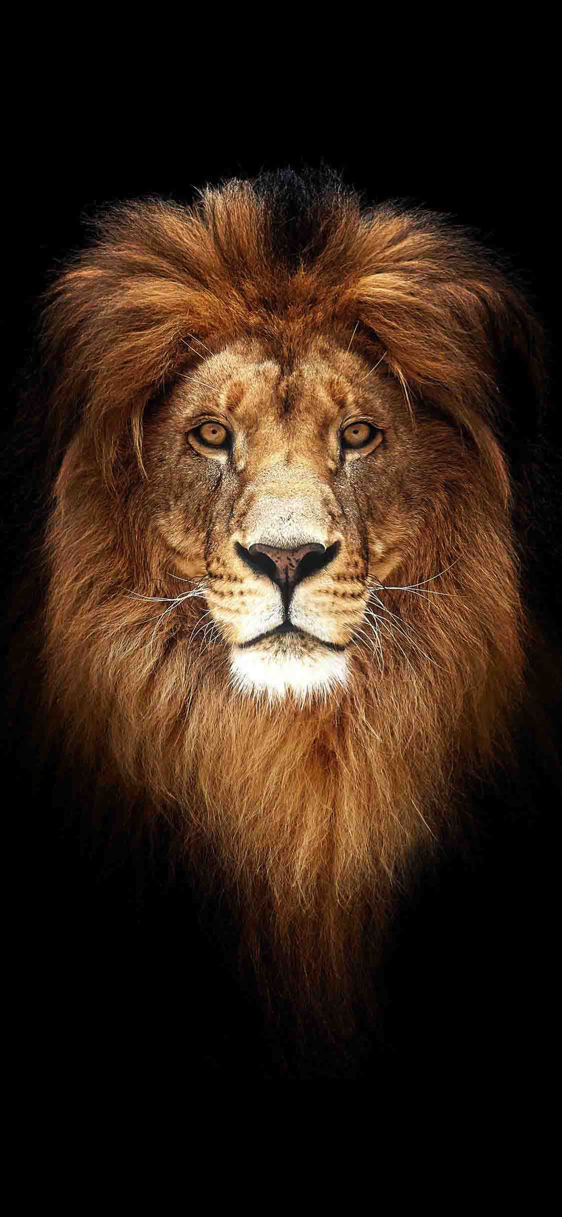 خلفيات ايفون Lion Wallpaper Iphone Wallpaper Wallpaper