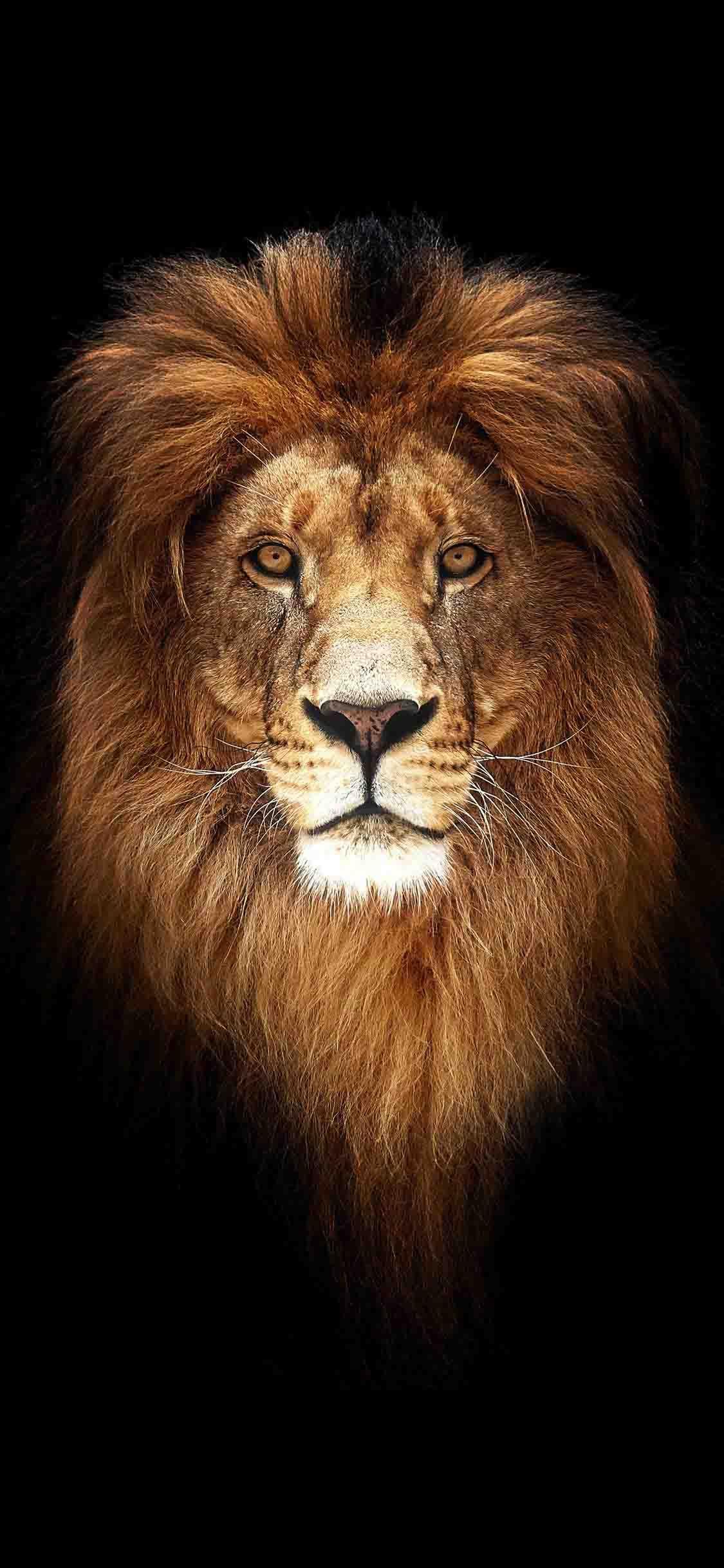 خلفيات ايفون Lion Wallpaper Iphone Wallpaper Lion