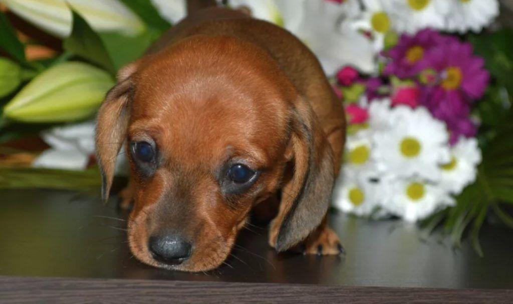 75 Southern Dachshund Dog Names Dog Names Dachshund Dog