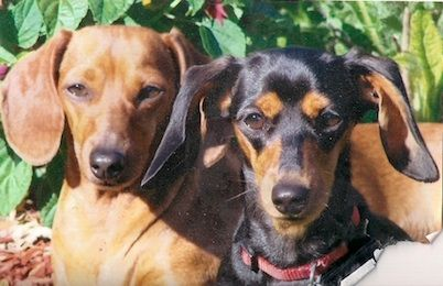 """Lucy"" and ""Ethel"" from Buffalo, New York ♥ Weenie dogs"