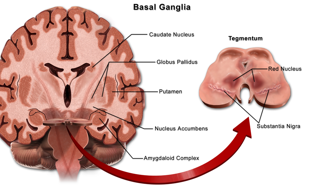 Location of the substantia nigra within the basal ganglia | Medicina ...
