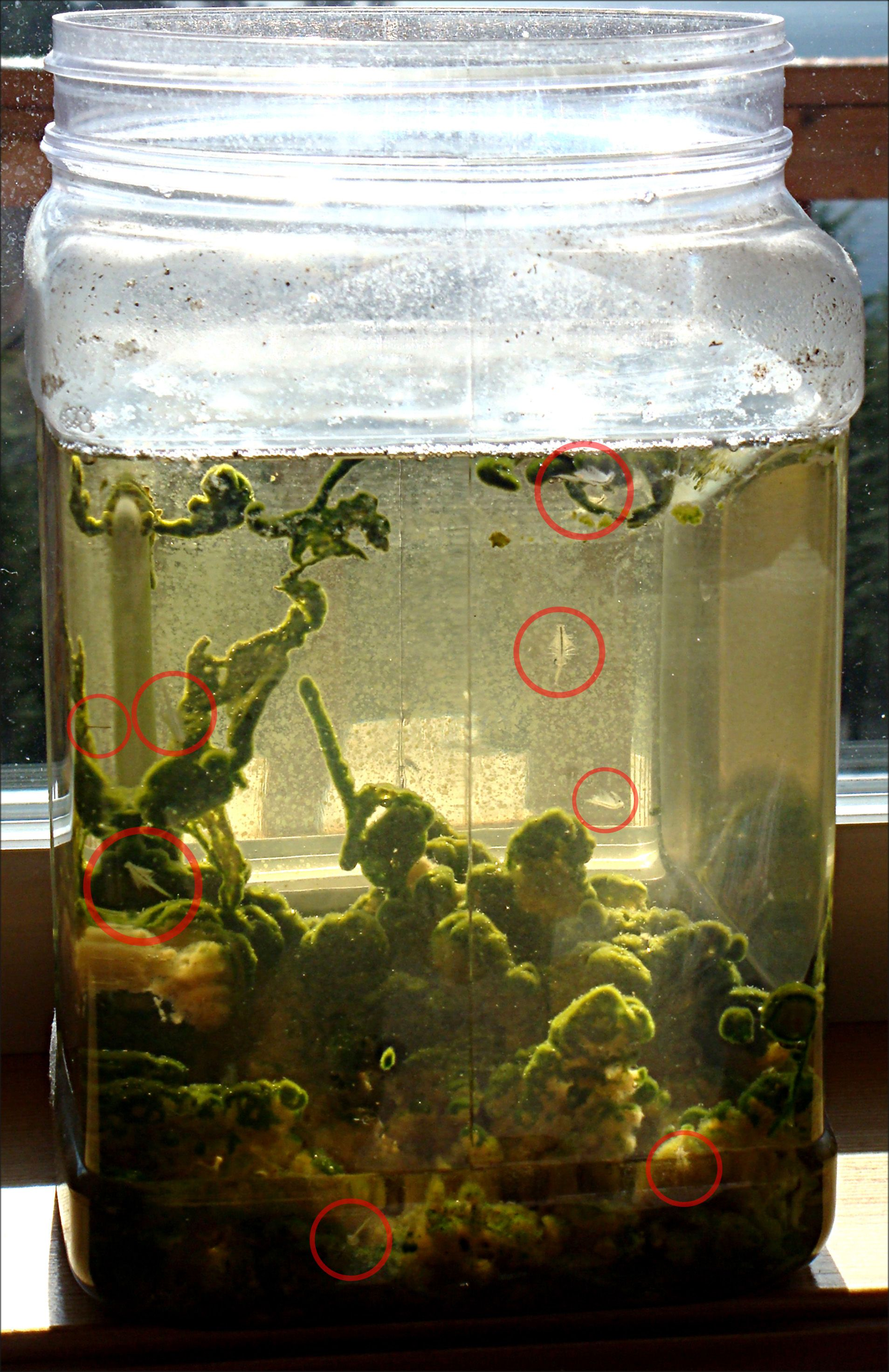 Sea Monkeys From Master Marfs Blog Note Huge Excellent Photo Of