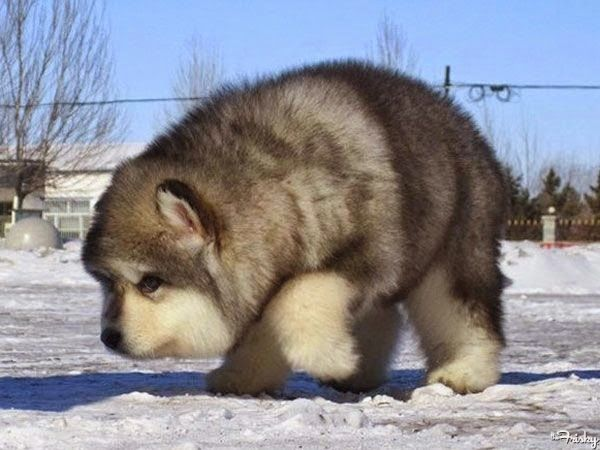 Must see Wolf Chubby Adorable Dog - 41a1e5a495629b4bc408945c72a2f7bf  HD_469413  .jpg