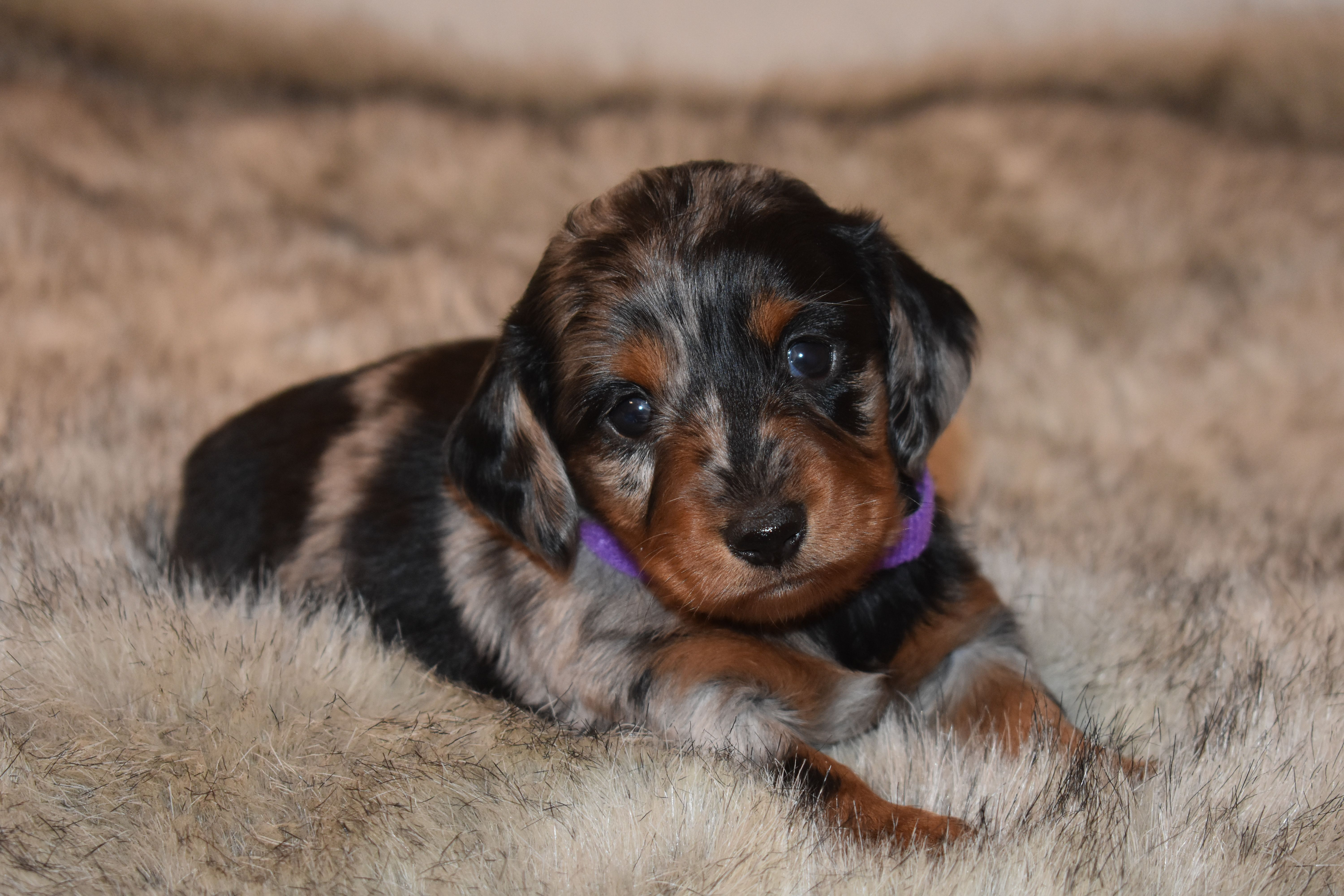 Pin By Select Dachshunds On Miniature Dachshunds In 2020 Dachshund Breeders Dachshund Puppies For Sale Miniature Dachshunds