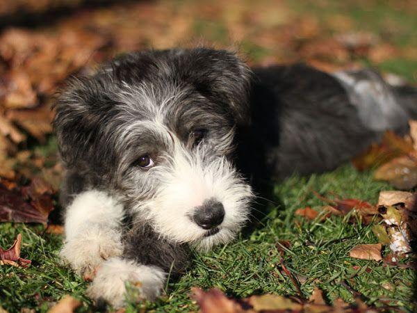 Stella Bearded Collie Puppy Bearded Collie Bearded Collie