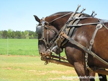 Draft horse pictures of those in harness and working. Draft horses
