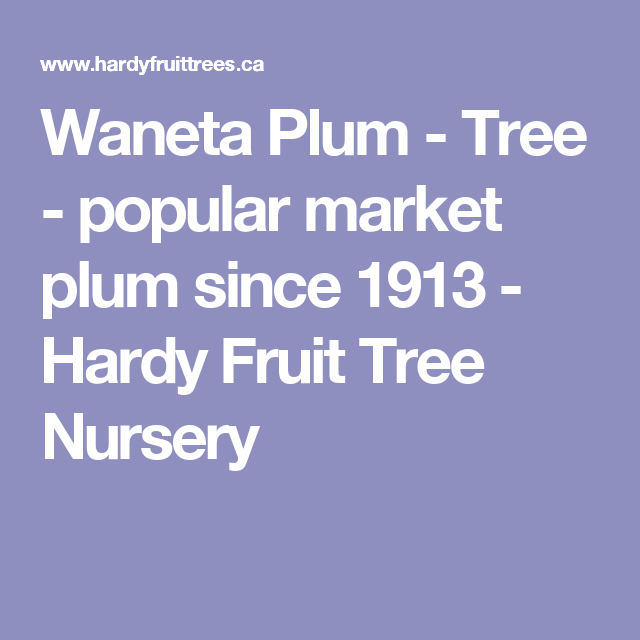 Waneta Plum Tree Popular Market Plum Since 1913 Hardy Fruit Tree Nursery Fruit Tree Nursery Plum Tree Fruit Trees