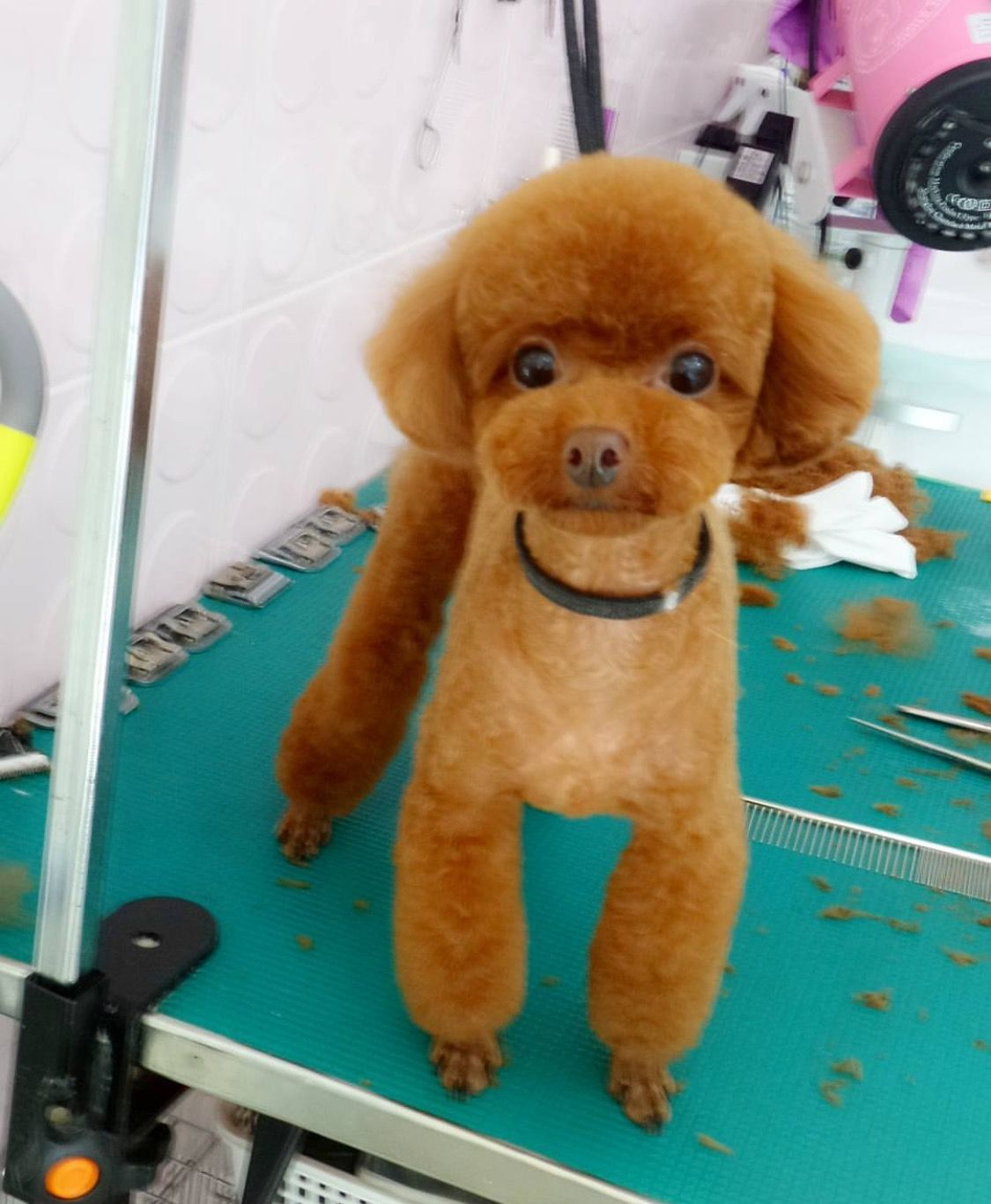 Grooming Gigis Hair Cut Pinterest Poodle Dog And Poodle Cuts