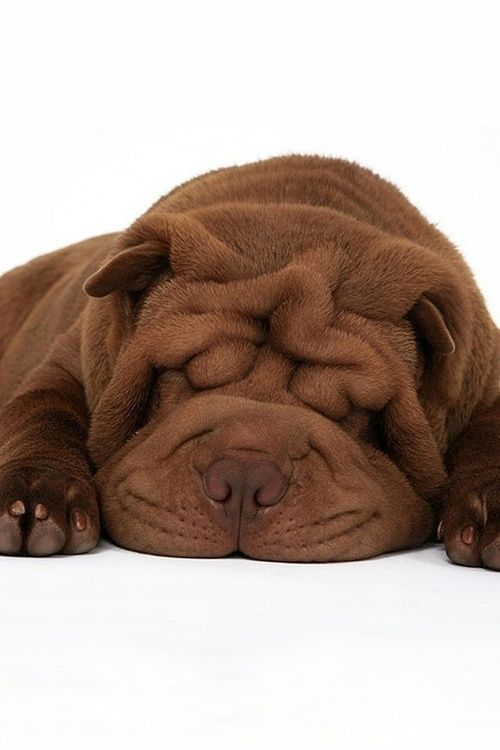 Chocolate Sharpei Shar Pei Dog Shar Pei Puppies Sleeping Dogs