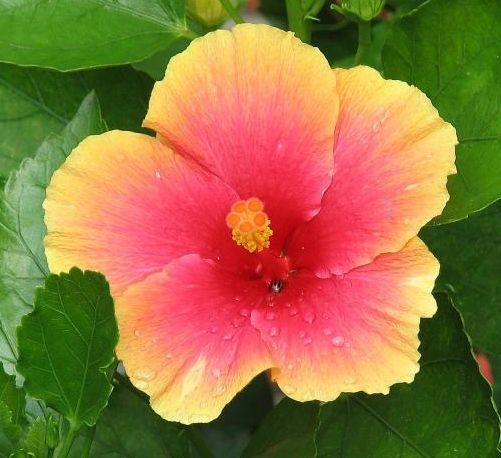 Hibiscus Rosa Sinensis Mrs Jimmy Spangler I Love The Orange Stigma