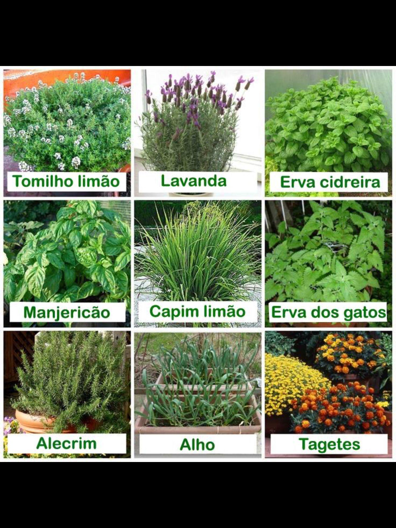 Plantas que os mosquitos odeiam!!   Plantas repelentes, Plantas repelentes  de mosquitos, Jardineria y plantas