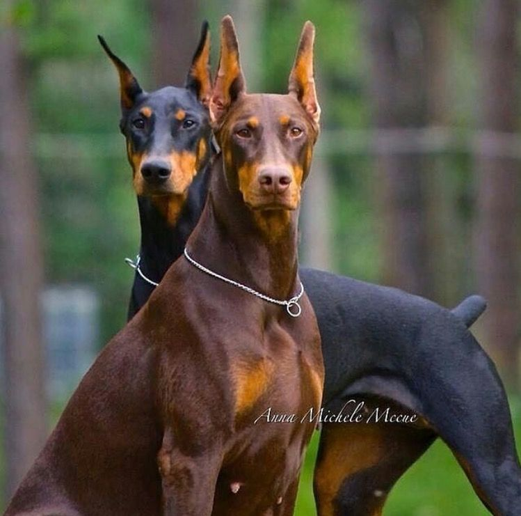 Pair Of Black And Chocolate Doberman Pinschers Doberman Dogs