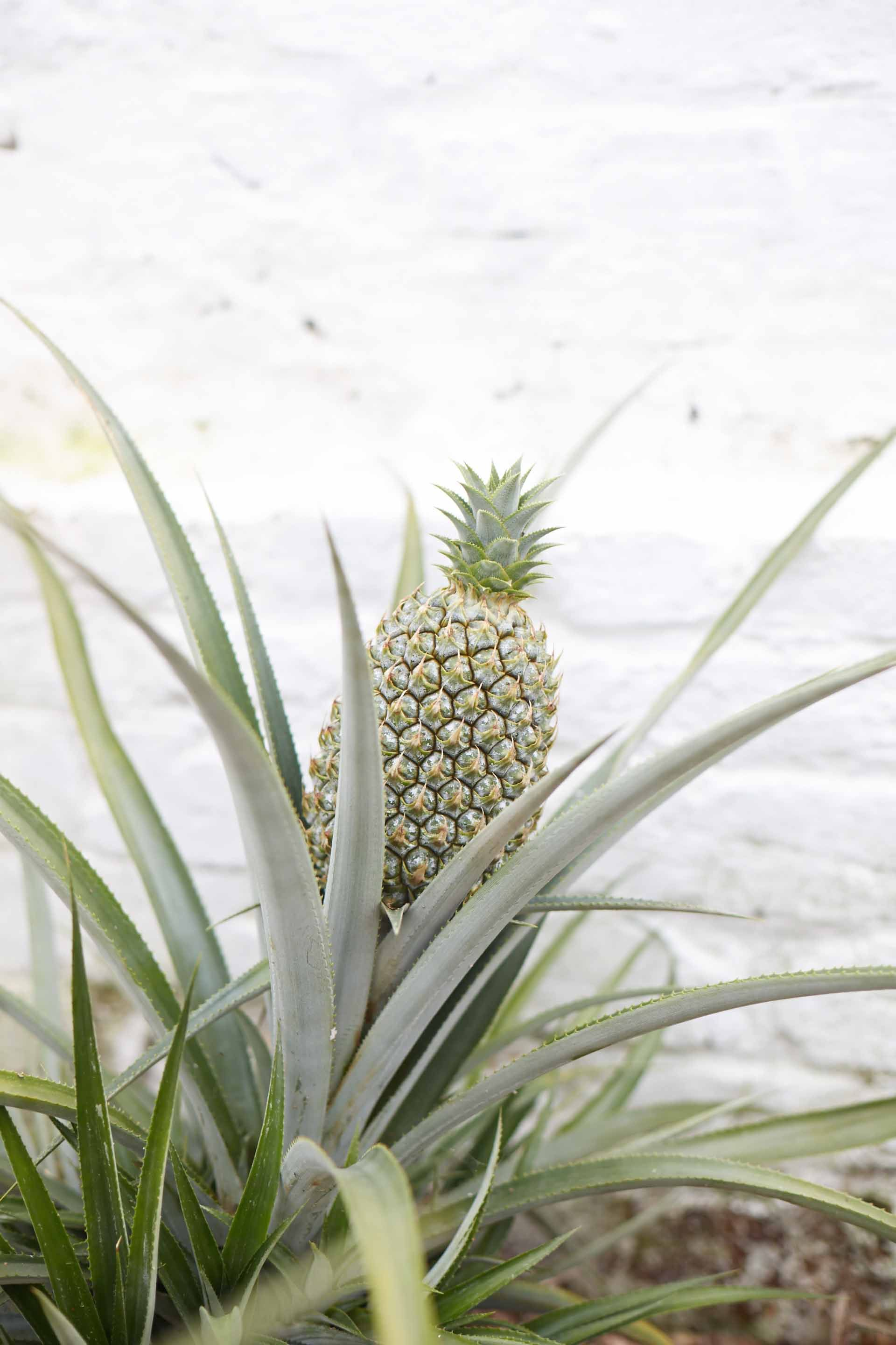 41a5e8873a25199c616a5dd7e21291e5 - Pineapples From The Lost Gardens Of Heligan