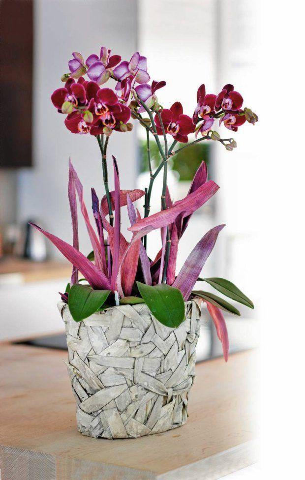 Zdjecie Nr 2 W Galerii Rosliny Doniczkowe Zima W Kwiatach Plants Orchids Phalaenopsis