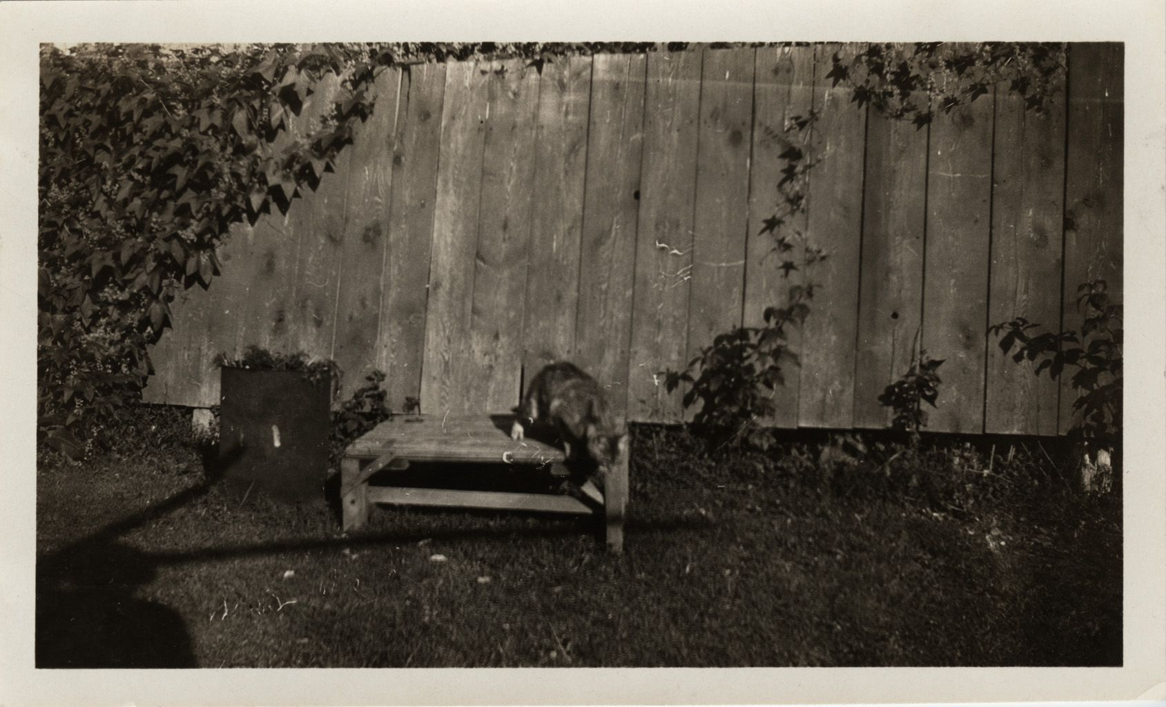 Photograph of cat jumping down from wooden platform. Photographer unknown, Archives at the Huron County Museum 2004.0038.042.