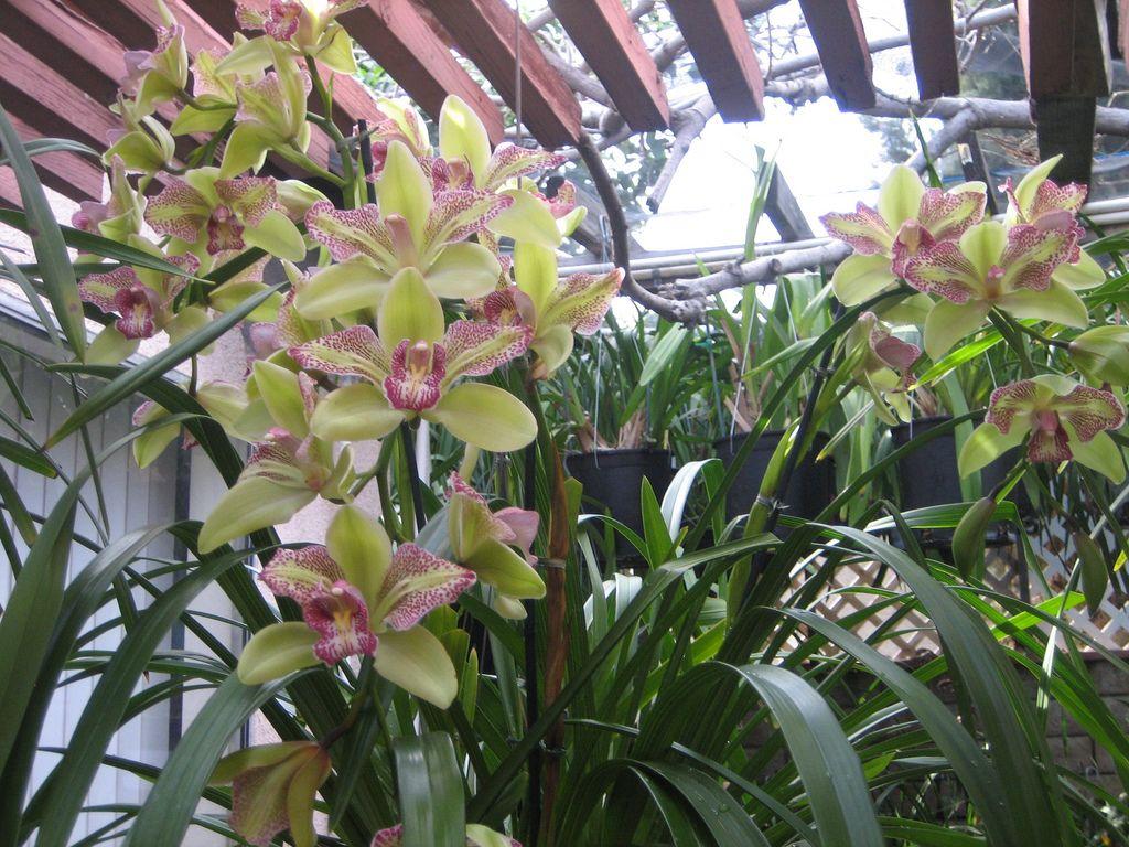 Cymbidium Isle Flamingo 3 Lip Variety Wild Orchid Orchids Nature Beauty