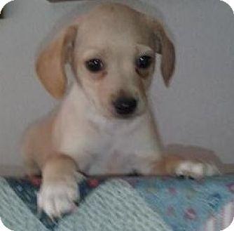 Gilbert Az Jack Russell Terrier Beagle Mix Meet Max Oliver A