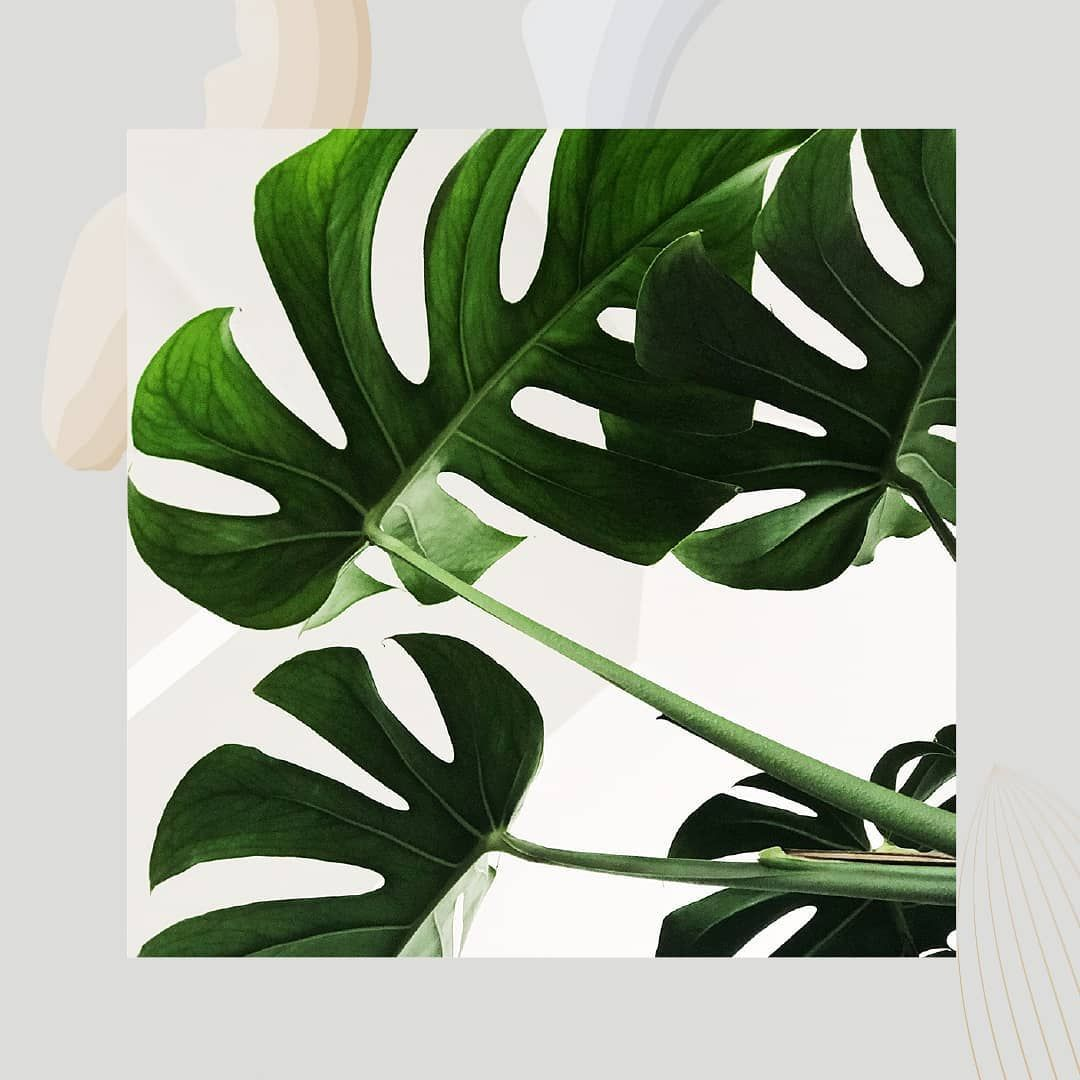 Monstera Deliciosa Swiss Cheese Plant A Beautiful Easy Care Tropical House Plant Which Plant Is Your Favori Square Art Art Prints Photography Wall