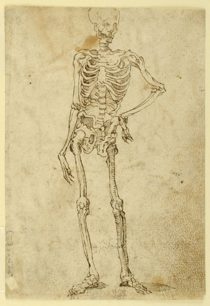Ideal Human Skeleton Shown Standing Contrapposto With The Left Hand