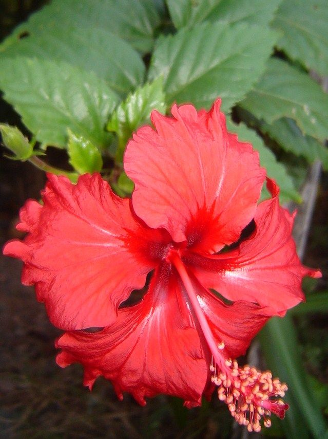 Hibiscus Online Plants For Sale Regius Maximus Backyard Tropical Garden In A Small Space Ordered 2 Hibiscus Plant Plants Online Plant Nursery
