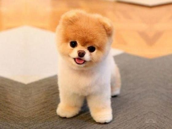 Photo of Mini Me Squeaky Dog Toy: Boo the Pomeranian