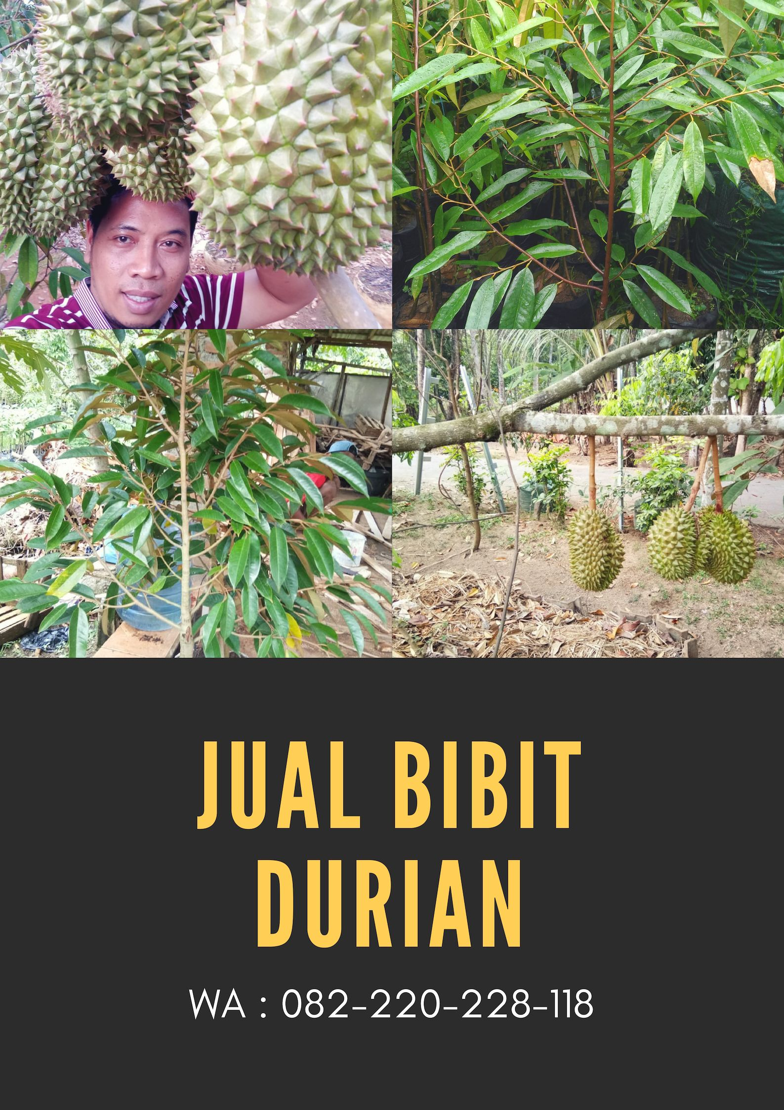 Kebun Durian Montong Di Medan