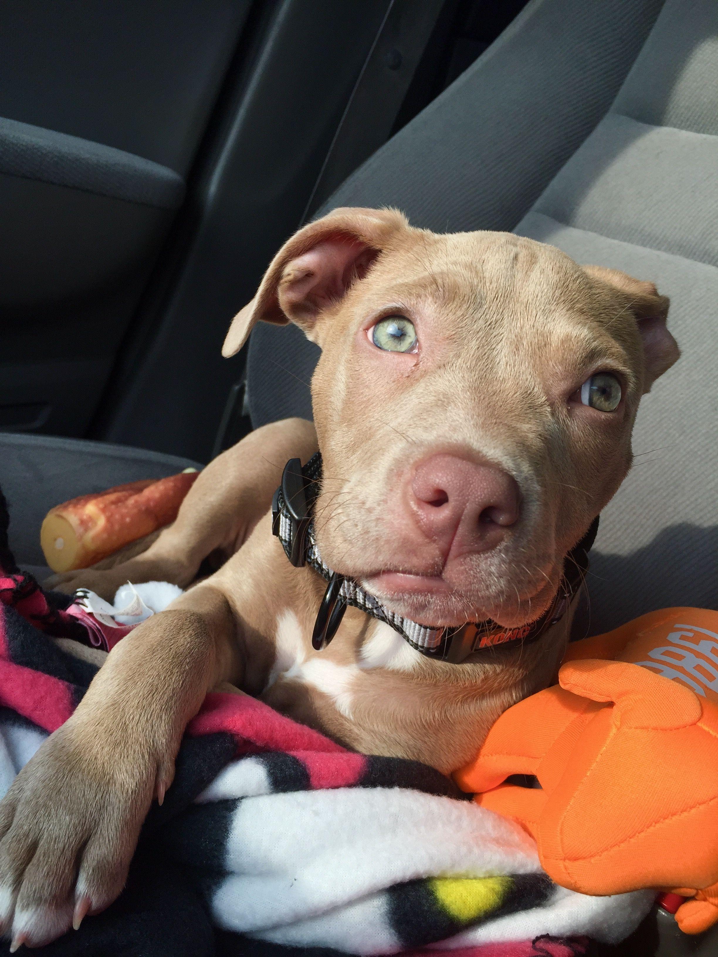 My Baby Cali Bully Razoredge Pitbull Puppy Fawn Blueeyes Perfection Red Nose Pitbull Puppies Pitbull Puppy Nanny Dog