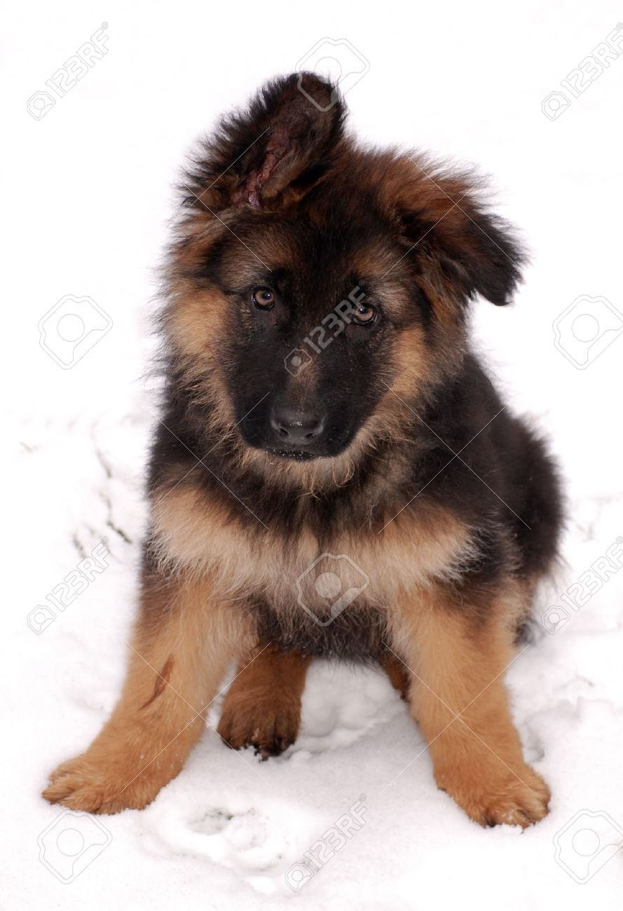 This Little Tickle Monster Puppies Cute Animals Shepherd Puppies