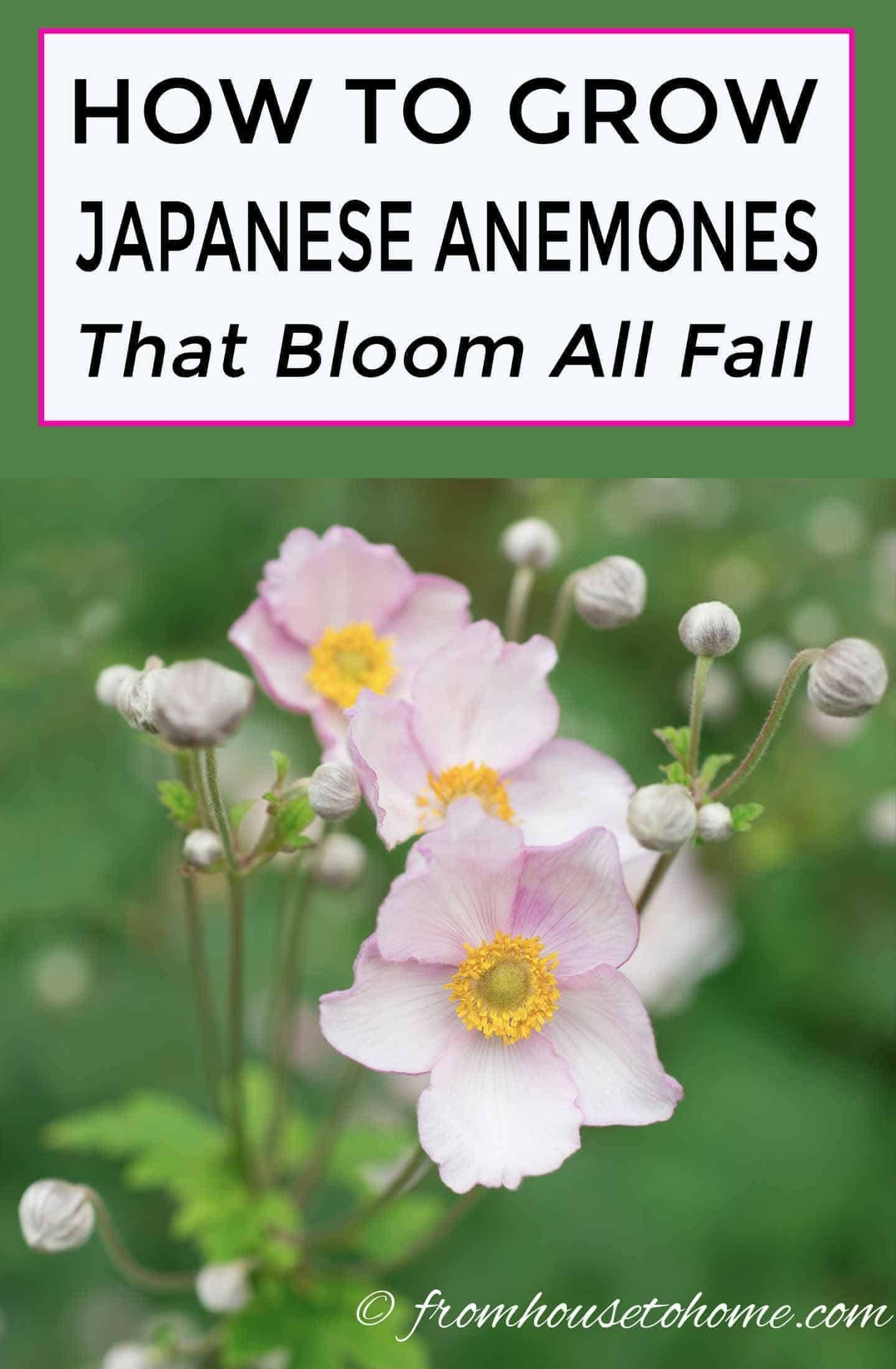 Japanese Anemones How To Grow And Care For These Fall Blooming Flowers Gardening From House To Home Japanese Anemone Part Shade Perennials Fall Blooming Flowers