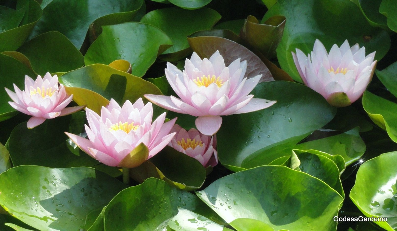 Job & the Lotus Plant biblical meaning behind a lotus