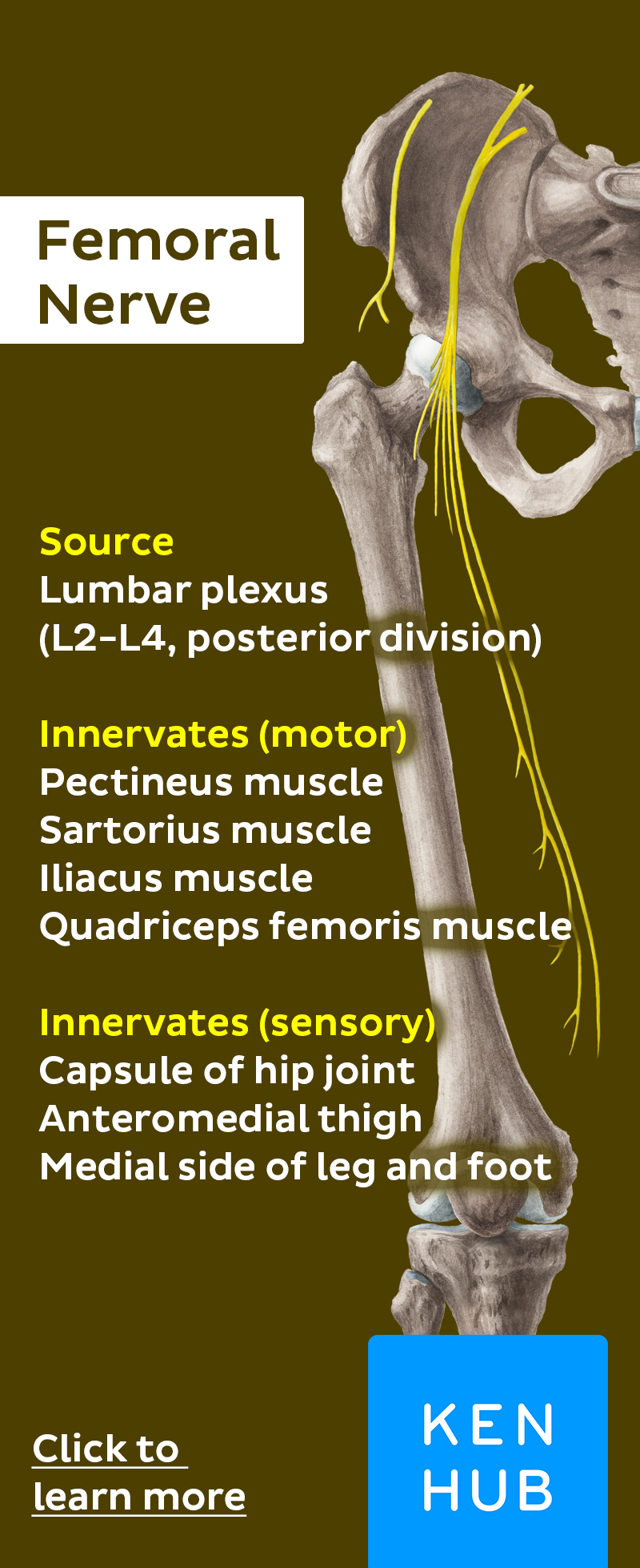 Femoral Nerve | Femoral nerve, Anatomy and Essentials