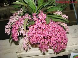orquidea rodriguezia - Pesquisa Google