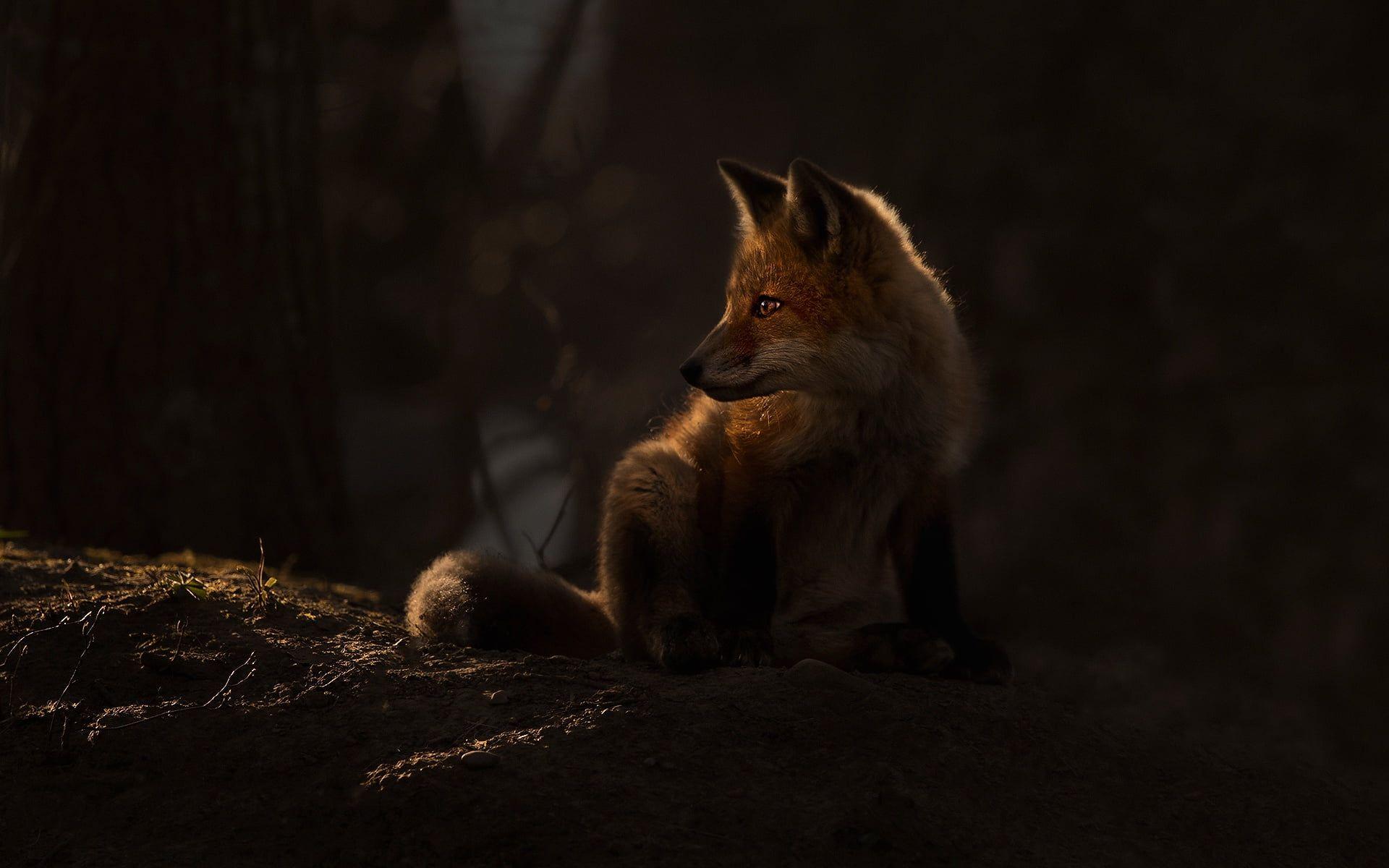 Dark Fox Animals Mammals 1080p Wallpaper Hdwallpaper Desktop 2020