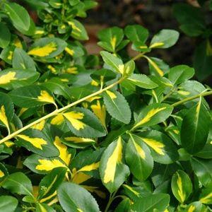 Moonshadow Wintercreeper Euonymus Front Lime Garden Garden