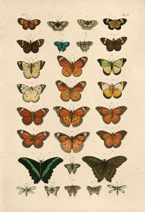 VINTAGE BUTTERFLY PRINT- High Quality Reproduction - Old Nature Print Butterfly Art Antique Natural History Print - Vintage Science Print #sciencehistory
