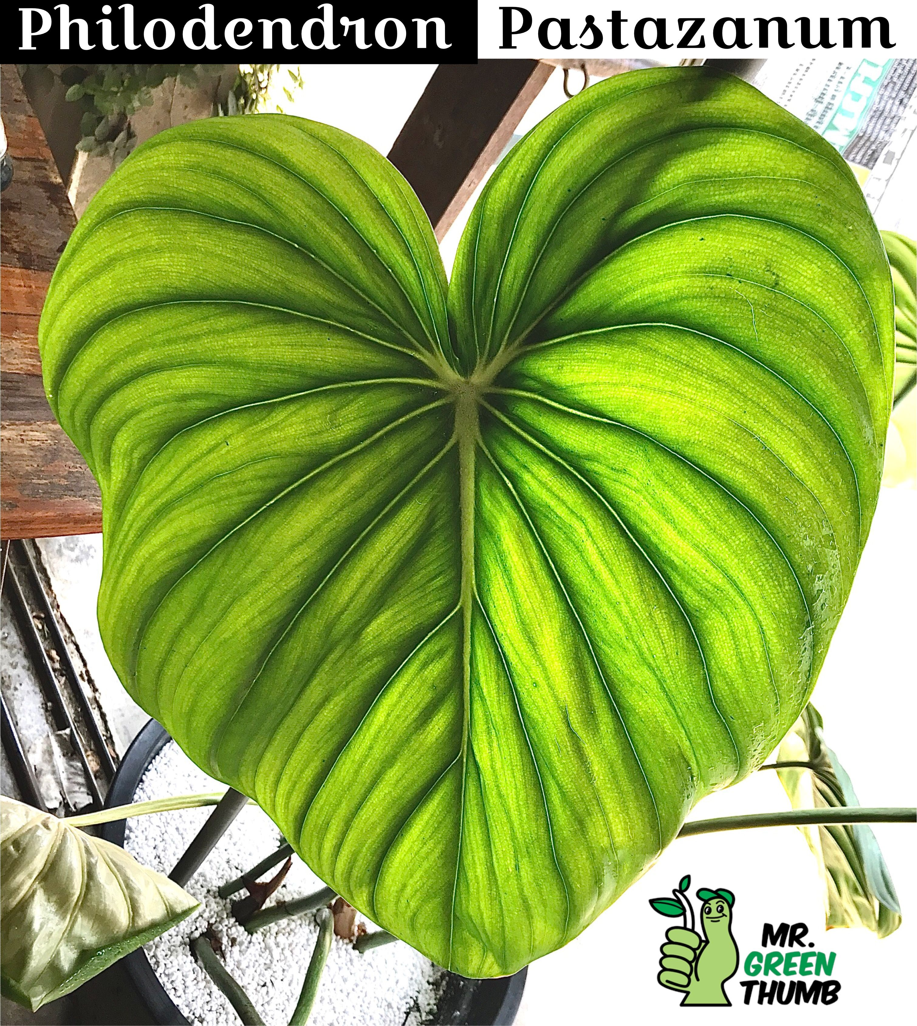 My Philodendron pastazanum is very different from the