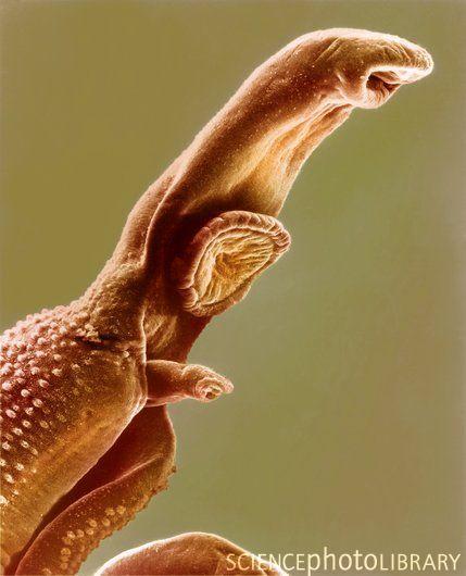 Schistosome fluke  Coloured SEM of a schistosome