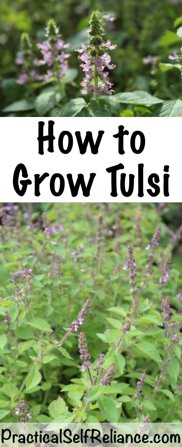 How To Grow Tulsi Indoors Or Outside With Images 400 x 300