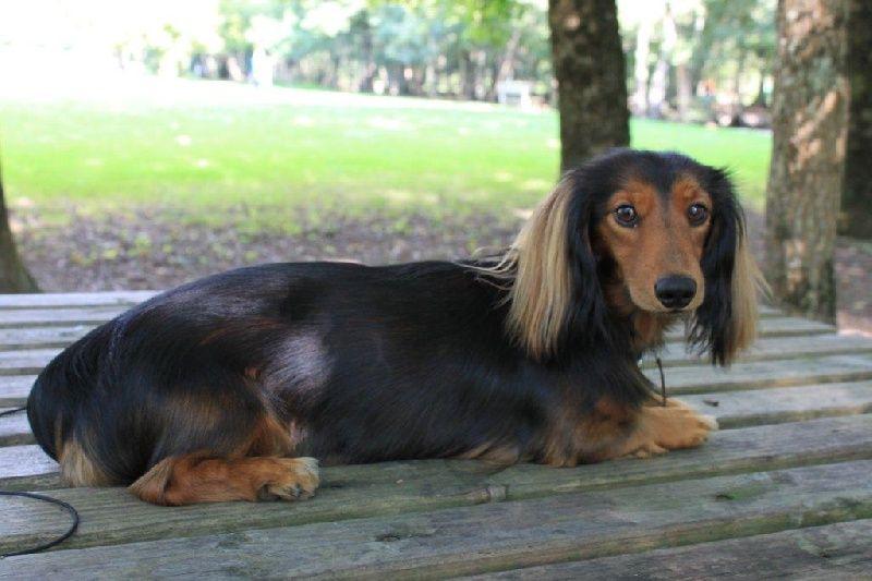 Photo Elevage Du Domaine De Luard Eleveur De Chiens Teckel Poil Long Dogs Dachshund Pup